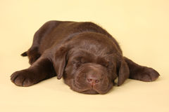 Sleeping lab puppy royalty free stock photo