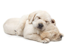 Sleeping Labrador puppies Royalty Free Stock Images