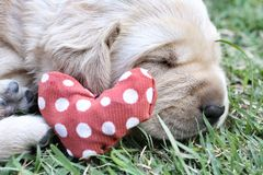 Sleeping labrador puppies on green grass Stock Photography