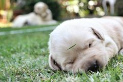 Sleeping labrador puppies on green grass Royalty Free Stock Photography