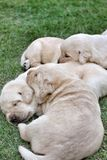 Sleeping labrador puppies on green grass Royalty Free Stock Image
