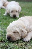 Sleeping labrador puppies on green grass Stock Photo