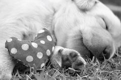 Sleeping labrador puppies on green grass Stock Images
