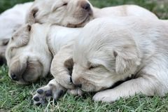 Sleeping labrador puppies on green grass Stock Photography