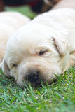 Sleeping labrador puppies on green grass - three weeks old. Stock Photo
