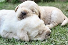 Sleeping labrador puppies on green grass Stock Image