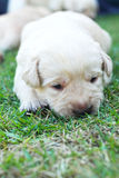 Sleeping labrador puppies on green grass - three weeks old. Stock Image