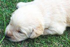 Sleeping labrador puppies on green grass - three weeks old. Stock Photography