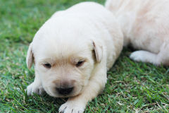Sleeping labrador puppies on green grass - three weeks old. Royalty Free Stock Photos