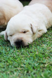 Sleeping labrador puppies on green grass - three weeks old. Royalty Free Stock Photo
