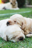 Sleeping labrador puppies on green grass - three weeks old. Royalty Free Stock Image