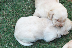 Sleeping labrador puppies on green grass - three weeks old. Stock Photography