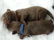 Sleeping Labrador puppies royalty free stock photography