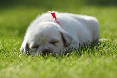 Sleeping Labrador puppy Royalty Free Stock Photos