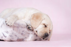Sleeping labrador puppy Stock Photos