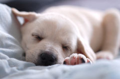 Sleeping Labrador puppy Stock Photography