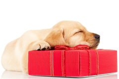 Sleeping labrador puppy on a gift Royalty Free Stock Photos