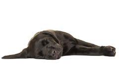 Sleeping labrador puppy Stock Photography