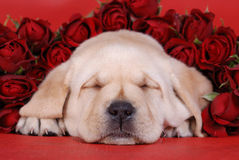 Sleeping Labrador Puppy With R Stock Images