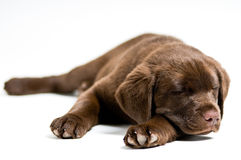 Sleeping Labrador Retriever puppy Royalty Free Stock Photos