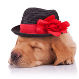 Sleeping labrador retriever puppy Stock Images