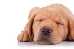 Sleeping labrador retriever puppy Royalty Free Stock Photo