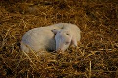 Sleeping lamb. A one week lamb sleeping in a sheepfold Stock Images