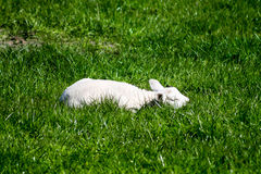 Sleeping Lamb Royalty Free Stock Photos