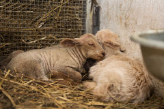 Sleeping lambs Stock Image