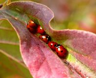 Sleeping ledybugs Royalty Free Stock Images