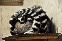 Sleeping Lemurs Stock Images