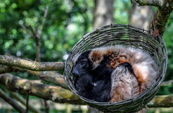 Sleeping Lemurs. A couple of lemurs sleeping in a basket in a tree Royalty Free Stock Photography