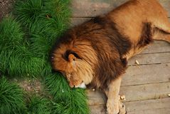 Sleeping Leon royalty free stock images