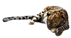 Sleeping leopard. Sleeping spotted leopard isolated on the white Royalty Free Stock Photos
