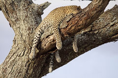 Sleeping Leopard. An adult leopard taking advantage of the security offered by a tree to have a little snooze. Photographed in the Serengeti national park Stock Images