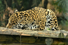 Sleeping leopard; Stock Image