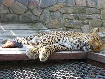 The sleeping leopard and piece of meat near it Stock Photo