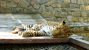 Sleeping leopard in the zoo Stock Photography