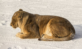 Sleeping Liger in Harbin China. A liger (half lion, half tiger) sleeping on the snow at the Siberian Tiger Reserve in Harbin China Stock Photo