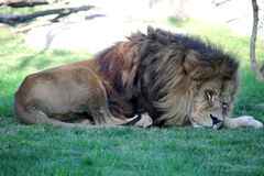 Sleeping lion Stock Photography
