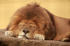 Sleeping lion Stock Photos