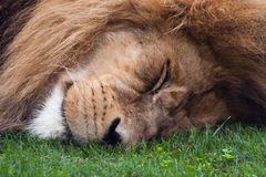 Sleeping lion Royalty Free Stock Image