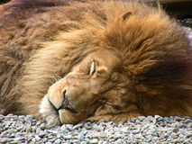 Free Sleeping Lion Royalty Free Stock Images - 18673719
