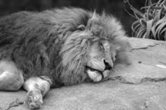 Sleeping Lion. A Lion asleep on a rock in black and white Stock Photo