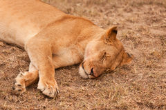 Free Sleeping Lion Royalty Free Stock Image - 24876086