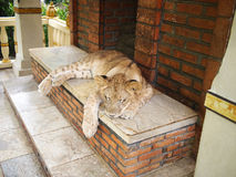 Free Sleeping Lion Stock Photos - 25185793
