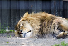 Sleeping lion Royalty Free Stock Photography