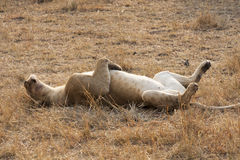 Sleeping lion. Lying on the back in the Serengeti, Tanzania Royalty Free Stock Images