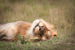 Sleeping Lion. Nothing relaxes like a Lion, sleeping during the hot Kenyan day Stock Photos