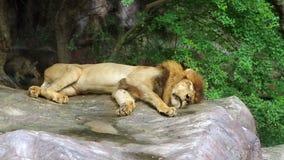 Sleeping Lion stock footage